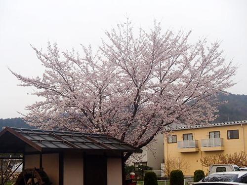 工場の桜も満開